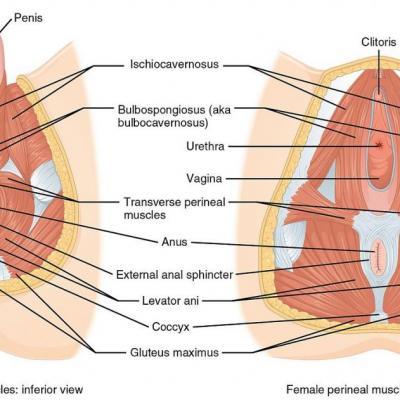 PC-Muskel von unten